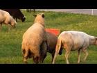 Funny Mating Love Farm Animal Animals |
