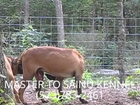 TOSA INU DOGS MATING LOVE - DOG BREEDING